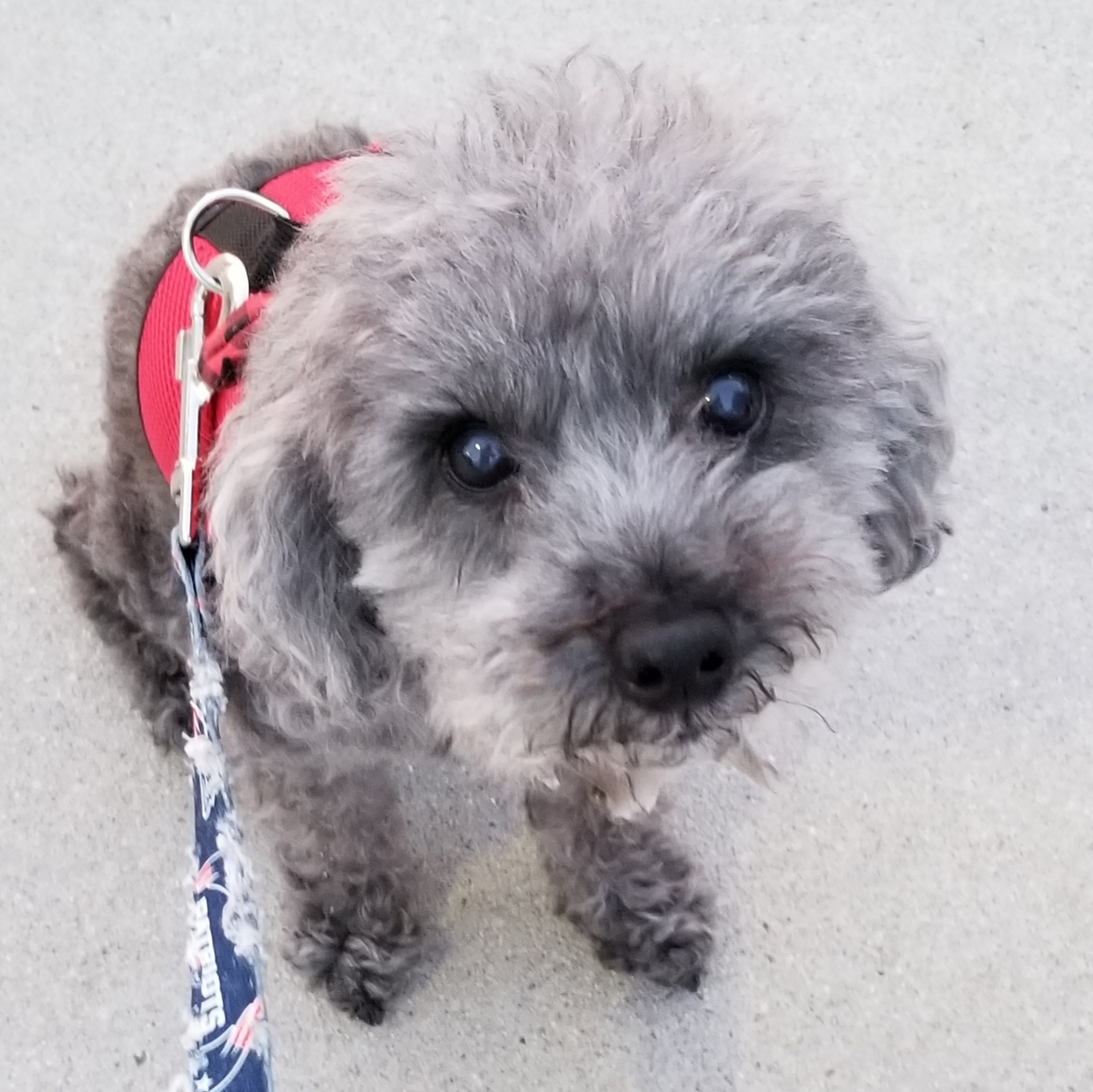 Who could resist this beautiful face? Jarvis the Evange-Poodle did a superb job making friends at the beach. People would come by to pet him and get some poodle-hugs, and then it's easy to start up a conversation about Jesus or to give them a gospel booklet. Good dog!!!